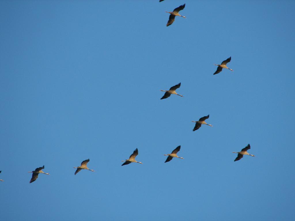 kraanvogels in de vlucht